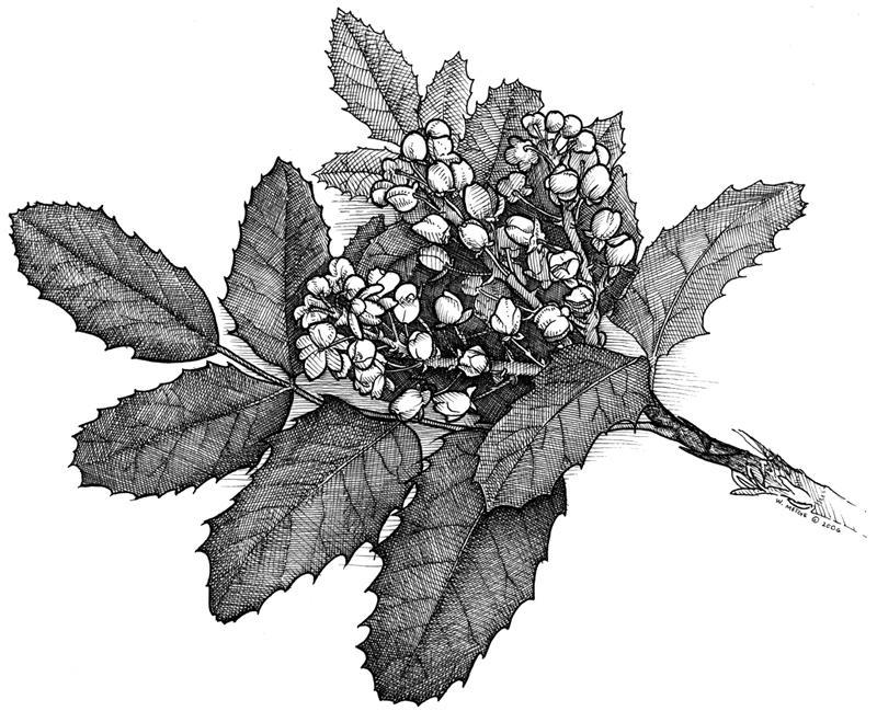 Mahonia aquifolium. Beautiful Oregon grape illustration.