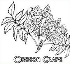 Free Oregon Grape Clipart.