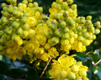 Oregon grape.