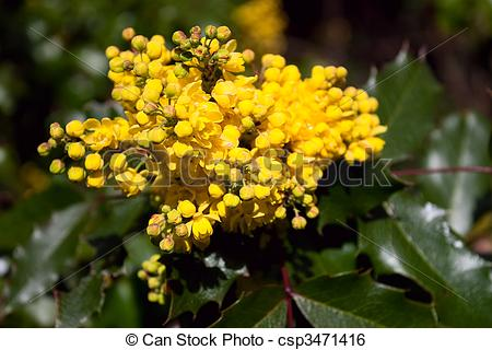 Stock Image of Grape Holly with Yellow Blooms.