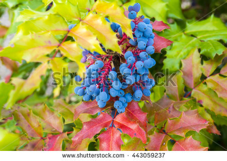 Oregon Grape Flower Stock Photos, Royalty.