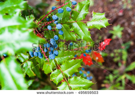 Oregon Grape Stock Photos, Royalty.