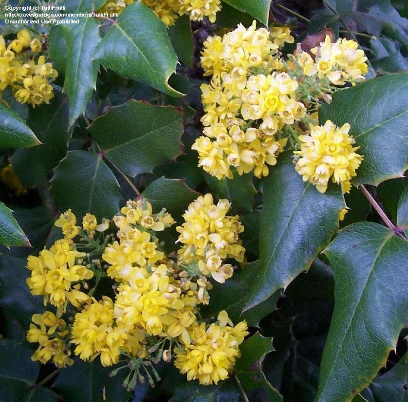 PlantFiles Pictures: Oregon Grape, Oregon Grape Holly, Holly.