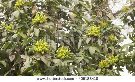 Mahonia Japonica Bush Stock Images, Royalty.
