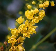 Western Meadowlark & Oregon Grape (Oregon's State Bird and Flower.