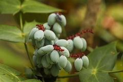 Oregon Grape Holly Stock Images.