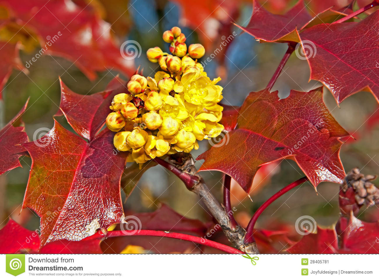 Yellow Oregon Grape Mahonia Aquifolium Flower Stock Image.