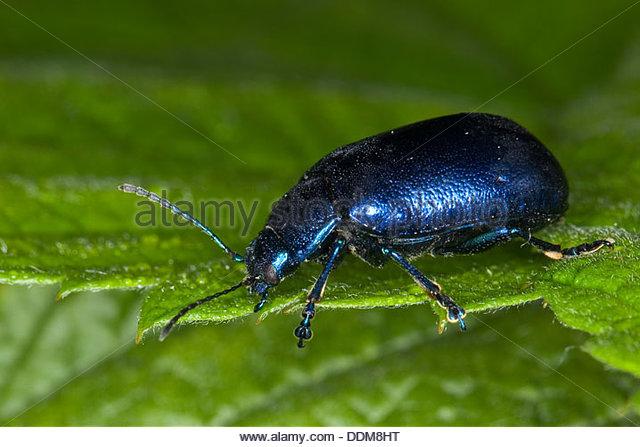 Chrysomelidae Sp Beetle Beetles Stock Photos & Chrysomelidae Sp.