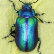 Photo overview Chrysomelidae (leaf beetles) of Germany.
