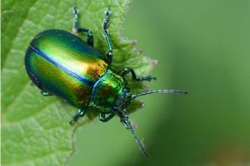 Insektenbox: Oreina cacaliae.
