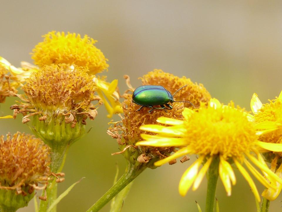 Free photo: Leaf Beetle, Oreina Cacaliae, Green.