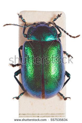 Chrysomelidae Stock Photos, Royalty.