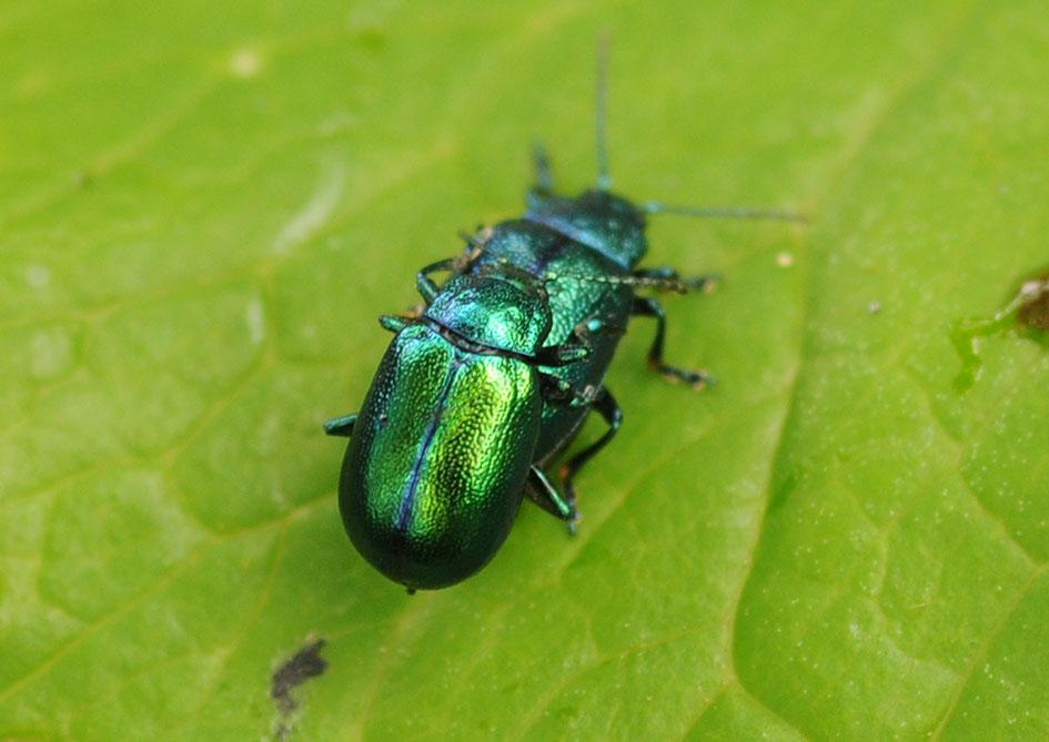 Chrysomelidae 2.