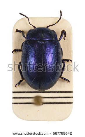 Chrysomelidae Stock Images, Royalty.