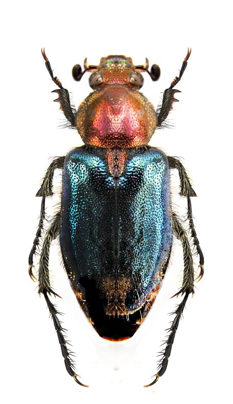 Oreina speciosissima clipart #13