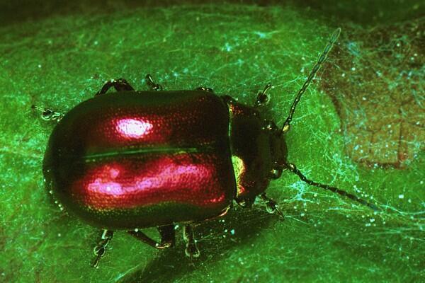 Oreina speciosissima (Leaf beetle).