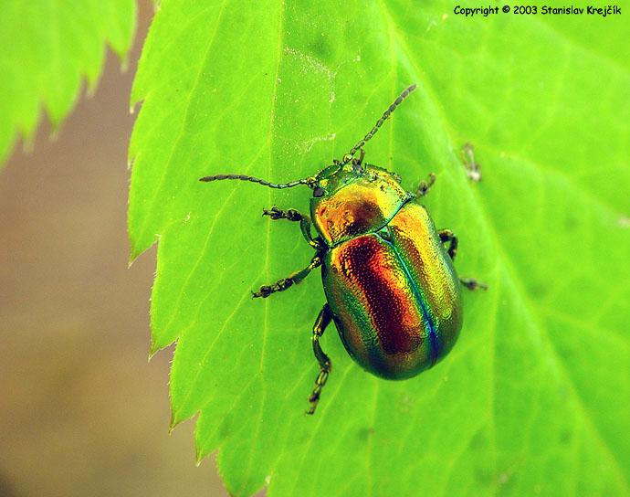 Meloidae — chrysomelidae0079.JPG.