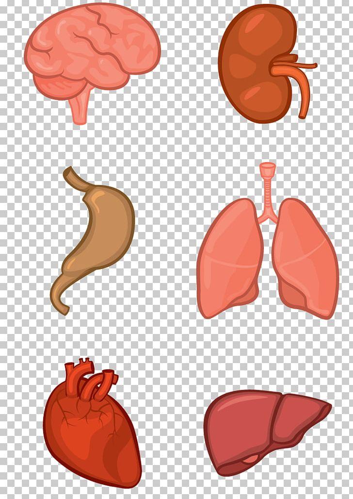 Organ System Human Body Anatomy Tissue PNG, Clipart, Anatomy.