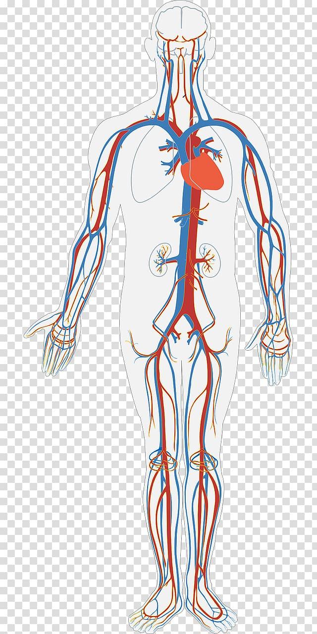 Human nervous system illustration, Circulatory system.