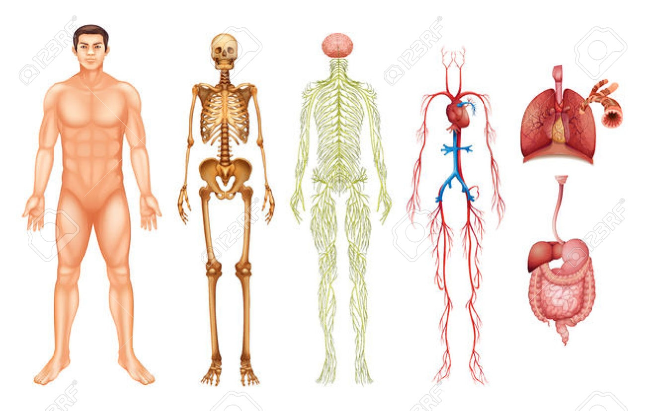 Organs Systems of the Body.
