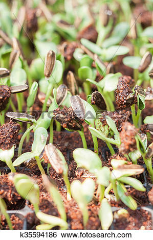 Stock Images of Sunflower seeds sprout in organic farm k35594186.