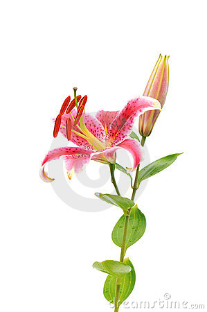 Tiger Lilies On White Background. Isolated Royalty Free Stock.
