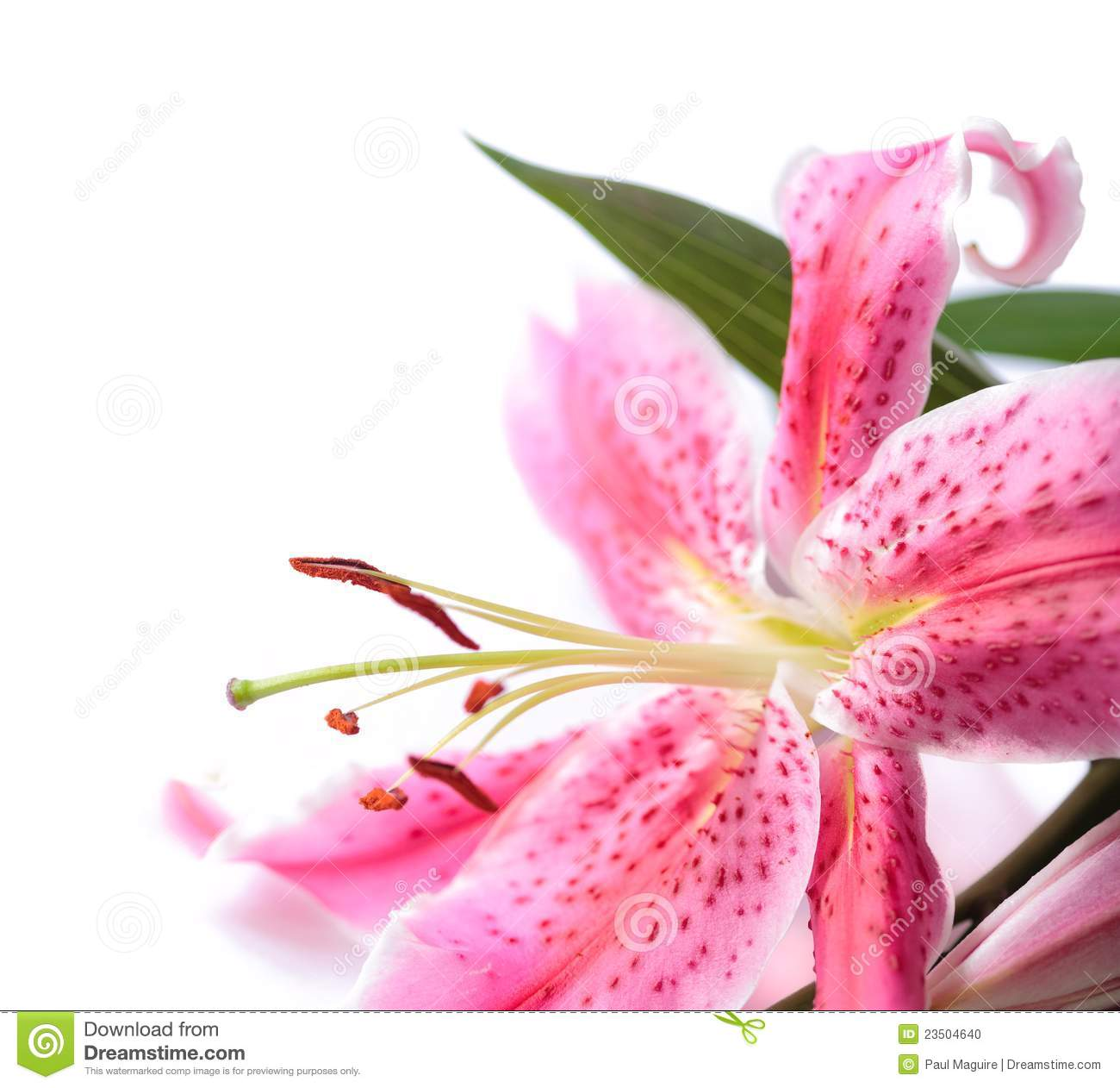 Lilium Stock Photos, Images, & Pictures.