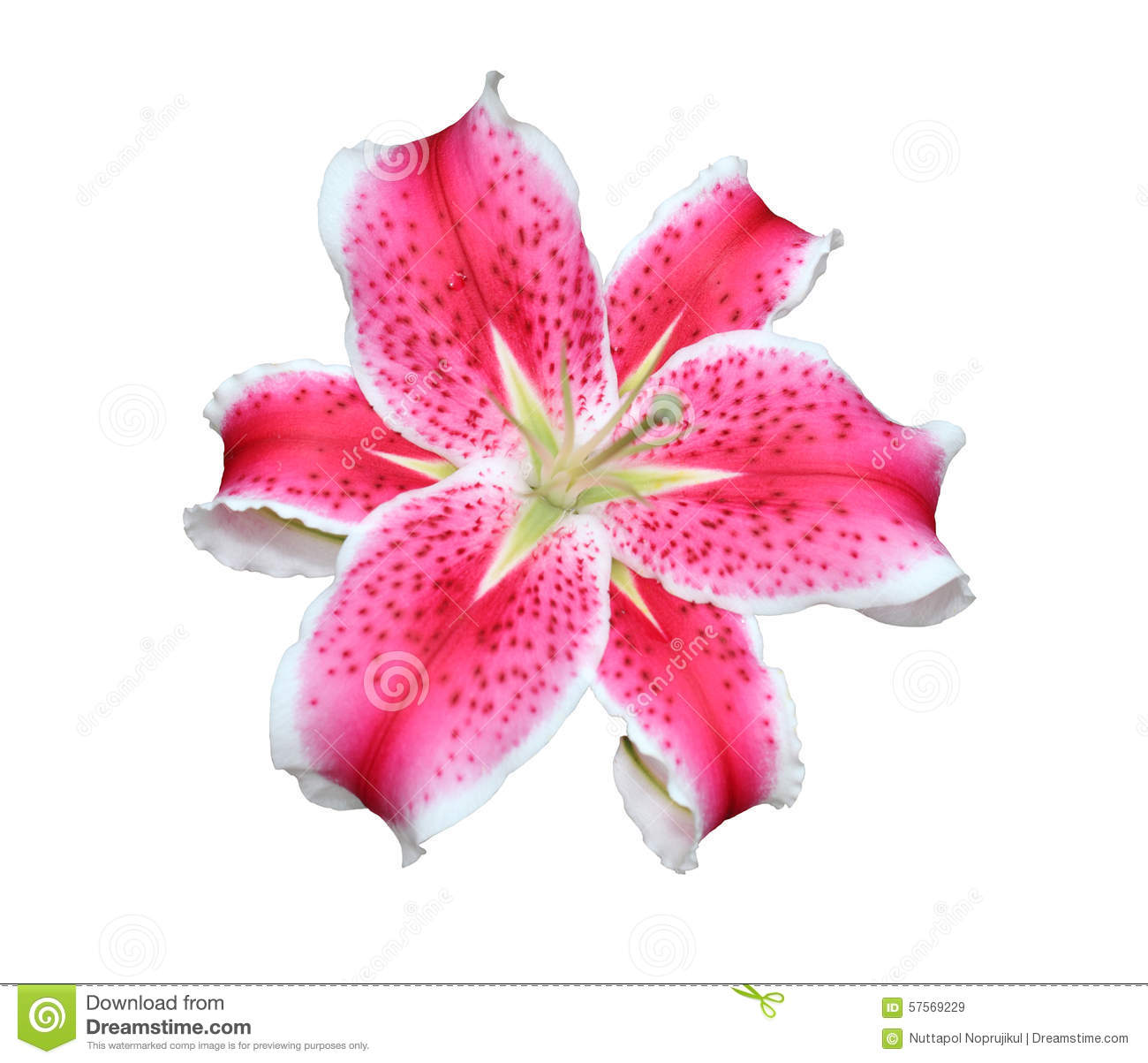 Pink Stargazer Lilies Flowers On White Background. Stock Photo.