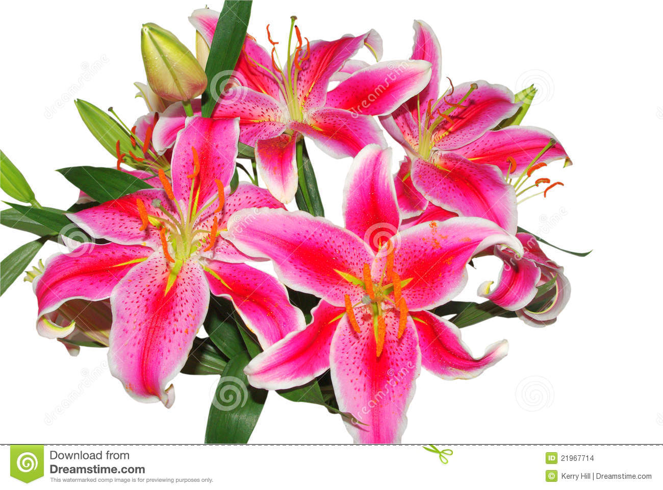 Exotic Oriental Lilies Royalty Free Stock Photo.