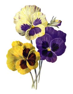 poppy clip art, Oriental poppy, vintage flower illus, Frederick.