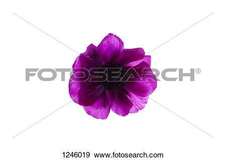 Stock Photograph of A vibrant purple oriental poppy on a white.