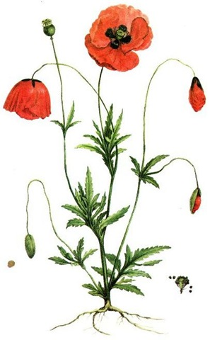 1000+ images about Poppies on Pinterest.