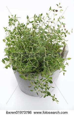 "Stock Images of ""Oregano (Origanum vulgare), herb, medicinal plant."