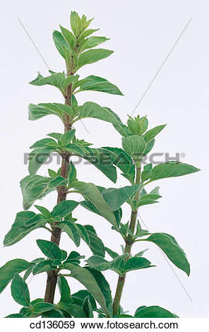 Stock Photograph of Oregano (Origanum vulgare) cd136059.