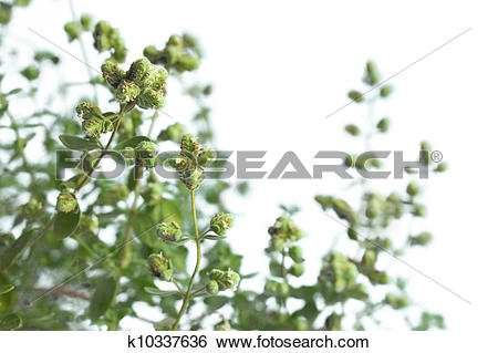 Stock Images of Marjoram (Origanum majorana) k10337636.
