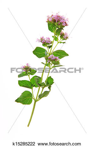 Stock Photo of Oregano flower (Origanum vulgare) k15285222.