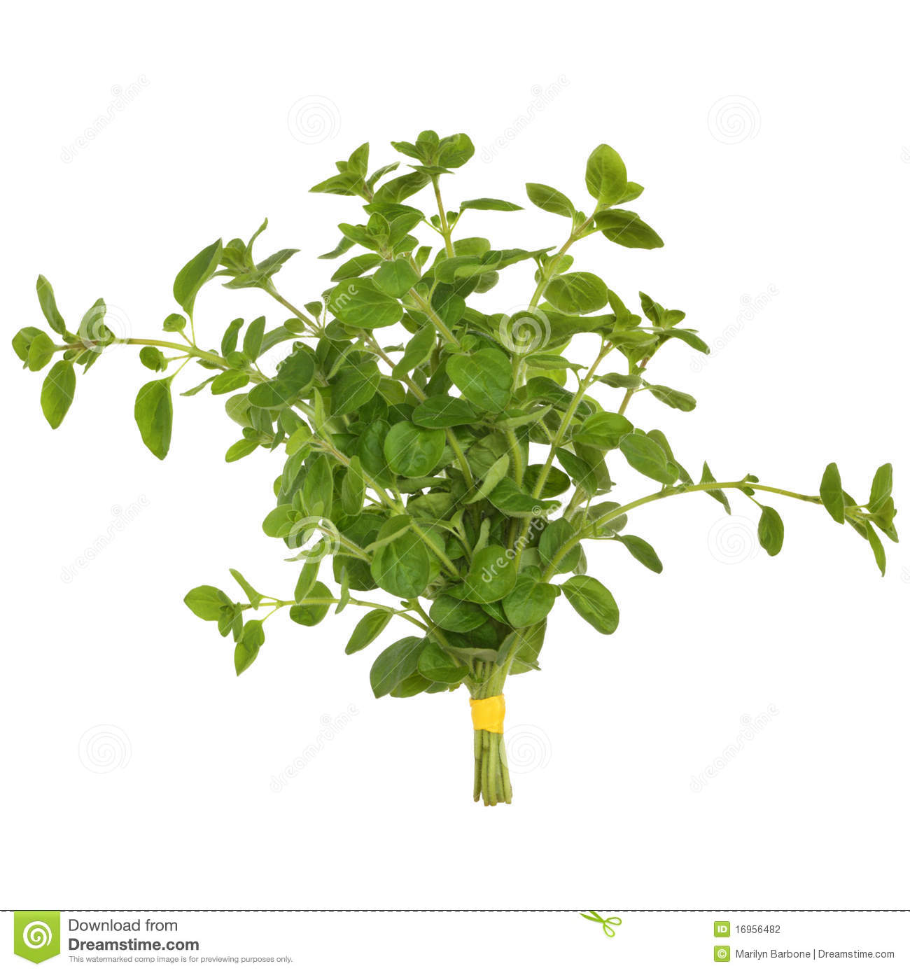 Oregano Herb Leaves Stock Photography.