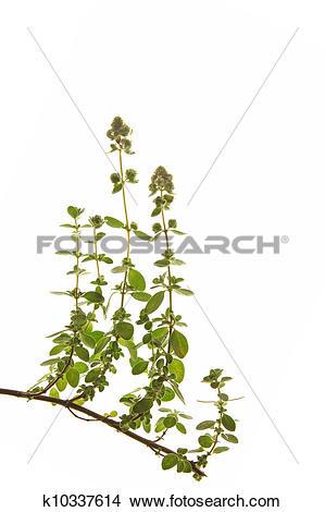 Stock Photo of Marjoram (Origanum majorana) k10337614.
