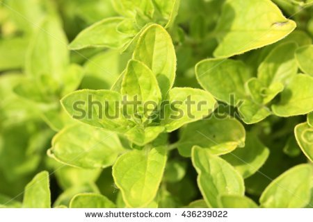 Origanum Stock Photos, Royalty.