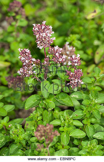 Origanum Hortensis Stock Photos & Origanum Hortensis Stock Images.