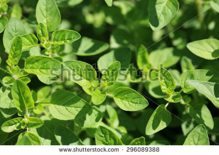 """origanum Majorana"" Stock Photos, Royalty."