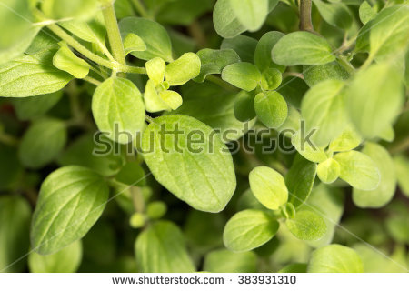 Branch Of Marjoram Stock Photos, Royalty.