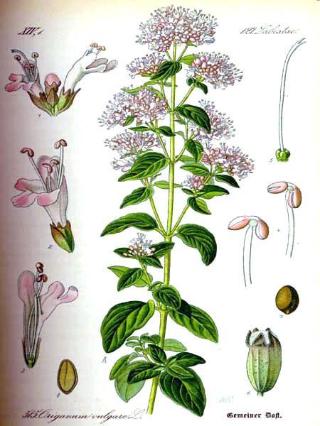 img/gravures anciennes de fleurs/gravure couleur ancienne de fleur.