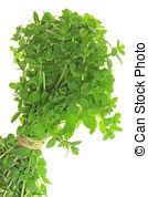 Stock Photos of Marjoram (Origanum majorana).