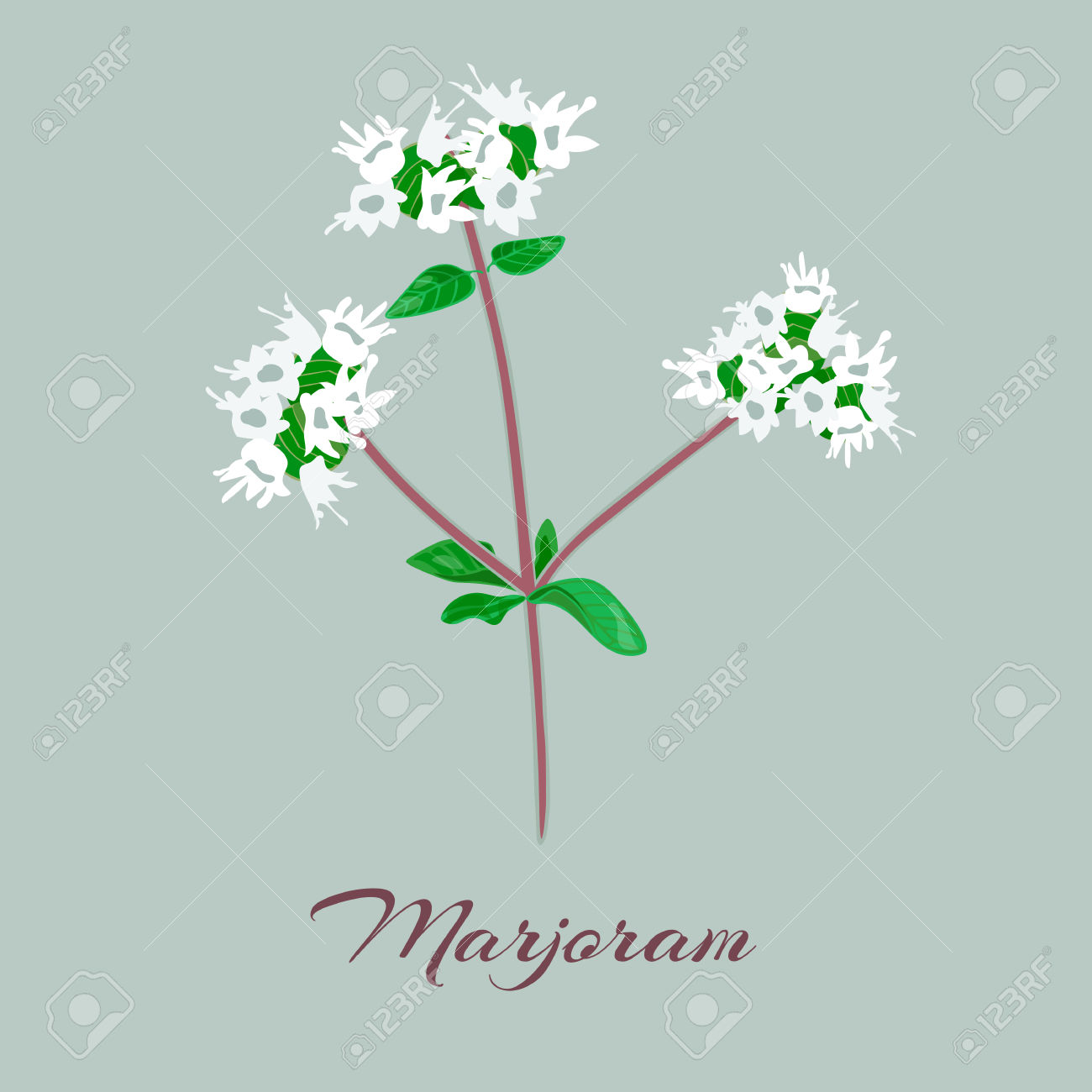 Marjoram Or Origanum Majorana. Flowers And Leaves. Vector.