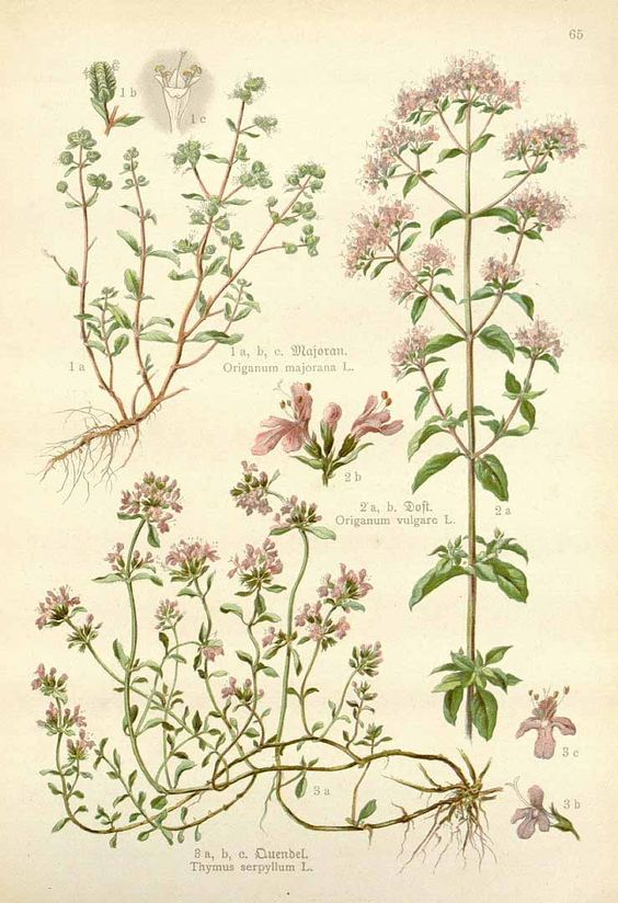 Origanum majorana L. sweet marjoram Losch (1905) Marjoram.