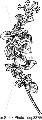 EPS Vectors of Marjoram or Origanum majorana, vintage engraving.