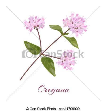 Vector Clipart of Blossoming oregano flowers. Origanum vulgare.