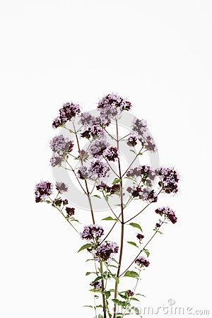 Oregano Herb (Origanum Vulgare) Or Wild Marjoram Royalty Free.