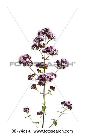 Stock Images of Wild Marjoram (Origanum vulgare) 08774cs.